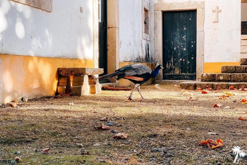 Pavão/Peacock Quinta da Foz do Arelho Portugal