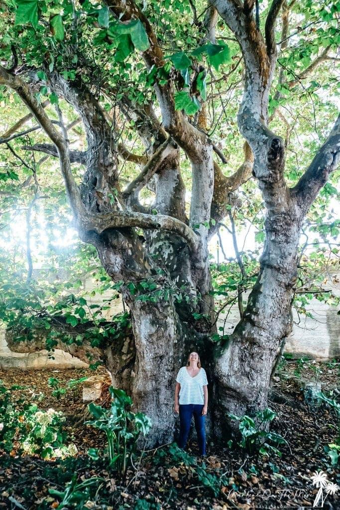 Árvore centenária/Old tree Quinta da Foz do Arelho Portugal