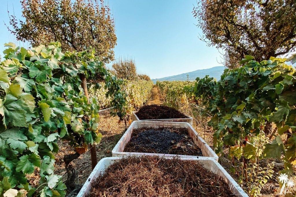 Vinha Quinta da Pacheca grapevine