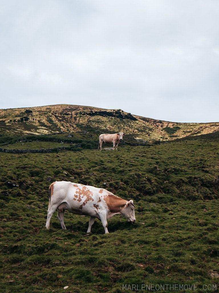 Vacas na Ilha do Corvo