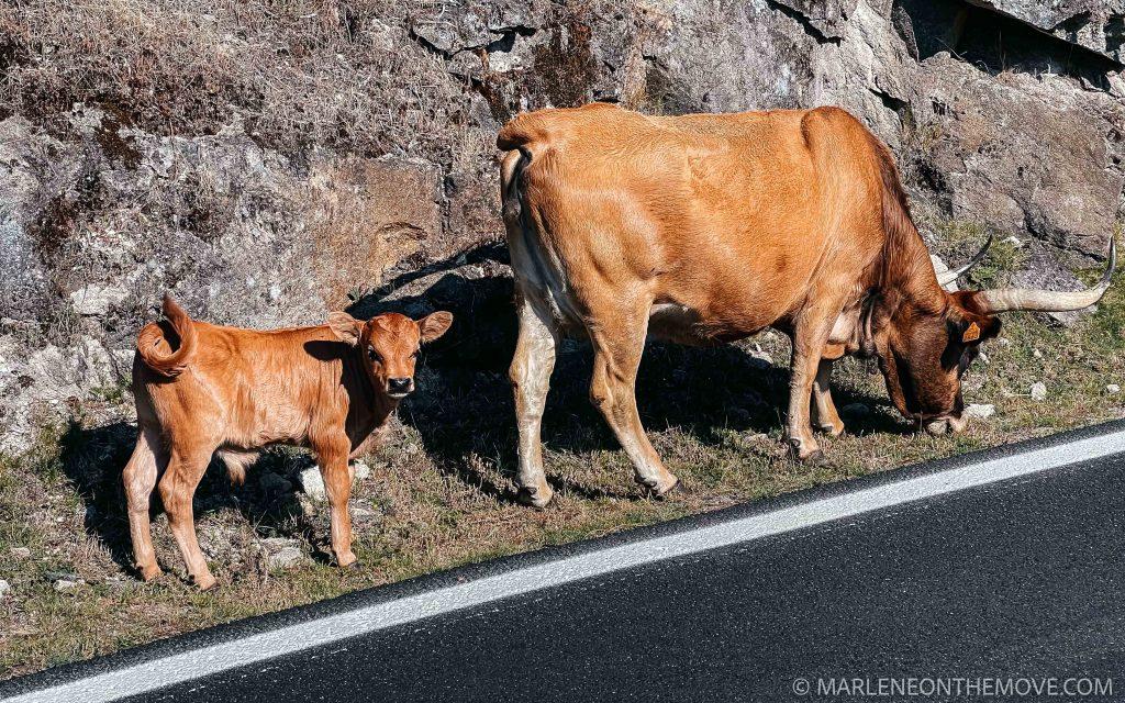 Vacas raça cachenas - local cows